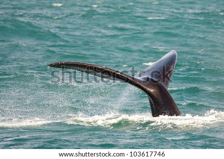 Southern right whale, Eubalaena australis, in South Africa. - stock photo