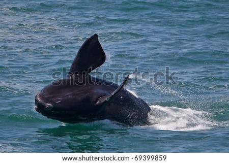 Southern right whale, South Africa - stock photo