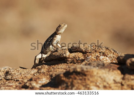 Southern Rock Agama, Agama atra atra, Augrabies Falls National Park, South Africa
