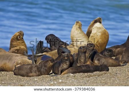 Southern Sea Lion colony, peninsula Valdes, Argentina - stock photo
