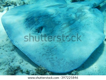 Southern Stingray in Caribbean waters