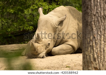Southern White Rhinoceros, Ceratotherium s.  simum, all 5 of the rhino species most sociable