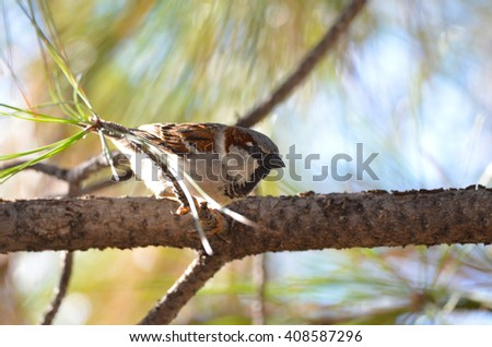 Southwest USA Beautiful Black bill Male House Sparrow Black mask, throat, and breast.  American sparrows. Male House Sparrows are brightly colored birds with gray heads, white cheeks, a black bib. - stock photo