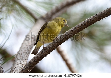 Southwest USA Beautiful Pale Olive Yellow Female Lesser Goldfinch, dull yellow, and black wings marked by two whitish wings. With short, pointed gray bill Short tail Faint, pale yellow
