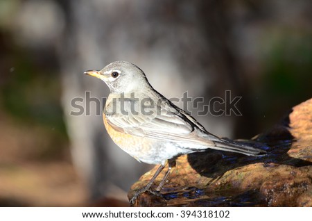 Southwestern Robin wild birds of New Mexico deep woods of the desert forest - stock photo