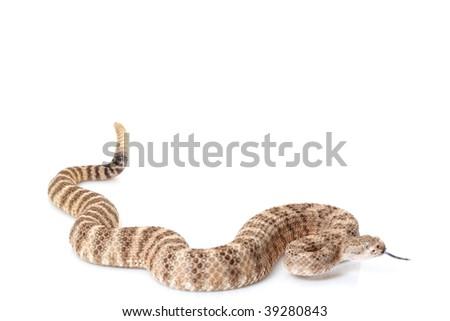 Southwestern speckled rattlesnake (Crotalus mitchellii Pyrrhus) isolated on white background - stock photo