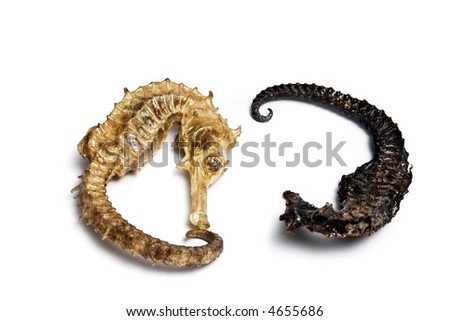 Souvenir varnish dried hippocampus (sea-horse) - stock photo