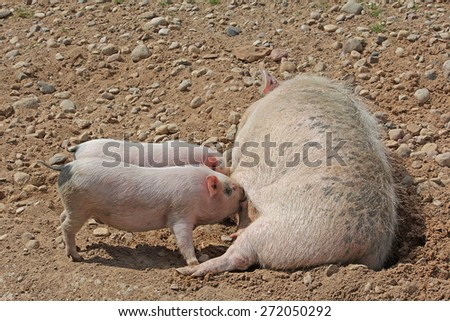 Sow milk feeds two little pigs - stock photo