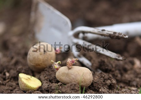 Sowing potatoes in the garden - stock photo