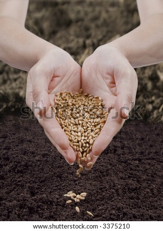 sowing wheat - stock photo