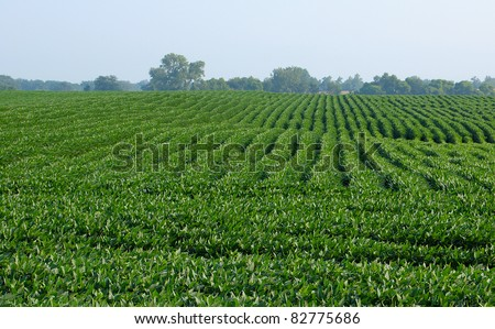 Soy bean field mid summer morning rows shallow depth - stock photo