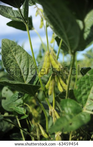 Soy bean pods in a field - stock photo