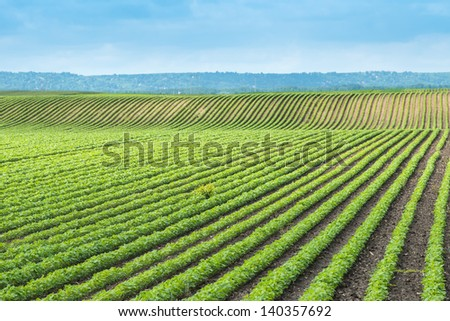 soy field with rows of soya bean plants - stock photo