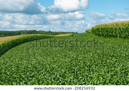Soybean and Corn Crops:  Alternating contour strips of soybeans and corn protect against erosion and soil depletion on a farm in southern Wisconsin.  - stock photo