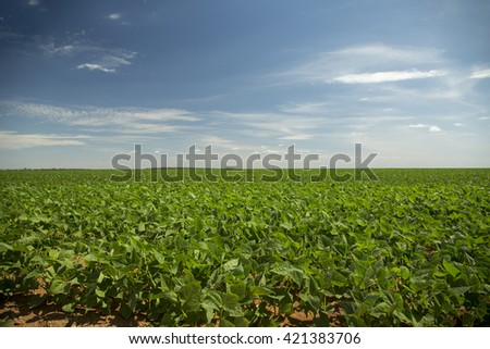soybean crop in the field - stock photo