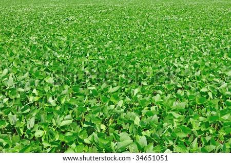 soybean field - stock photo