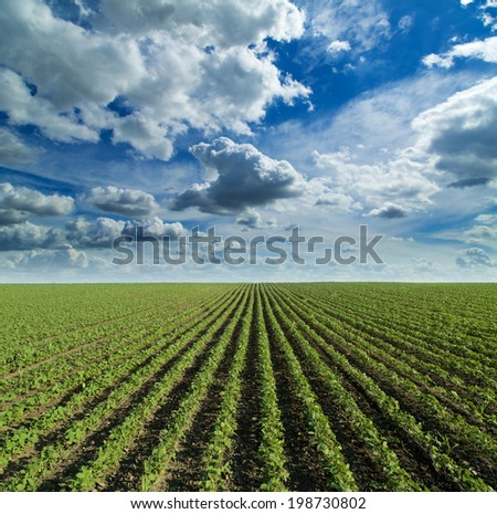 Soybean field growing over blue sky with nice clouds. Hill landscape - stock photo