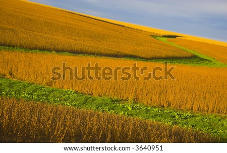 Soybean field  lit almost orange during sunset, with background of blue sky and some clouds. - stock photo