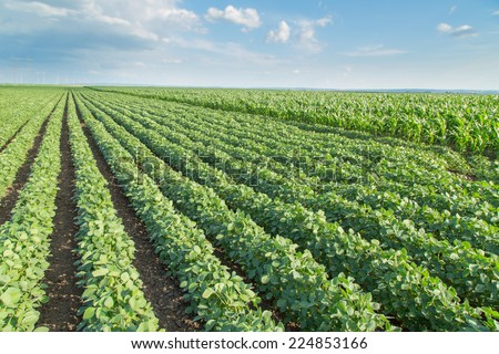 Soybean field ripening, agricultural landscape - stock photo