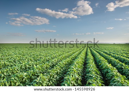 Soybean Field Rows