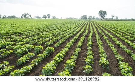 Soybean field, Salunkwadi, Ambajogai, Beed, Maharashtra India - stock photo