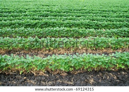 soybean field with horizontal rows of soya bean plants in dark wet soil - stock photo