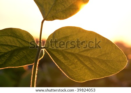 Soybean leaves with sun shining through