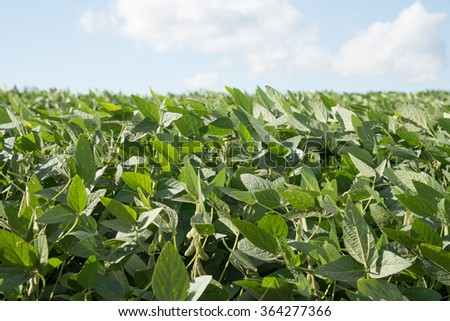 Soybean plant in blue sky background - stock photo