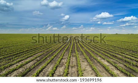 Soybean plants at ranch field growing