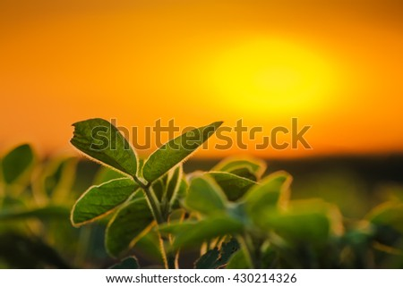 Soybean plants in sunset, selective focus - stock photo