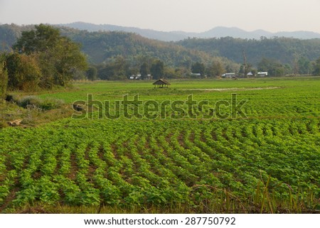 Soybeans growing in irrigated paddies,  Hsipaw,  Myanmar (Burma) - stock photo