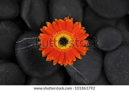 Spa and aromatherapy concept macro of gerbera on pebbles