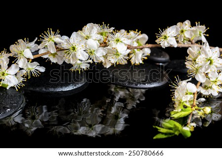 Spa background of zen stones, blooming twig of plum with reflection on water - stock photo
