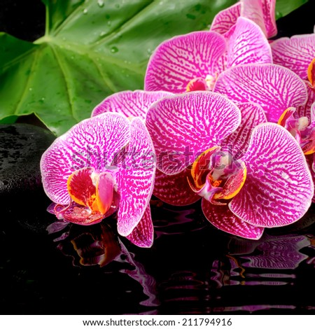 spa concept of blooming twig stripped violet orchid (phalaenopsis ), zen stones, green leaf with drops and ripples reflection on water, closeup  - stock photo