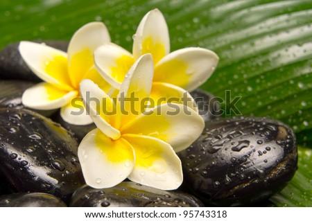 Spa treatment with Frangipani and black stones on banana leaf - stock photo