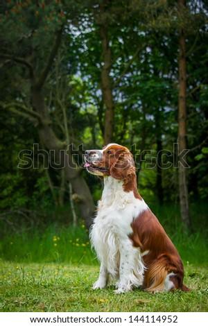 Spaniel - stock photo