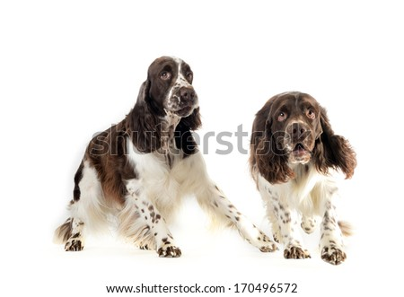 Spaniel in front of a white background