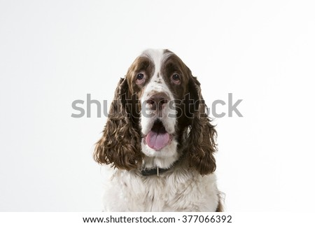 Spaniel portrait. Image taken in a studio. There is a lot of room for text.