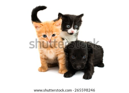 spaniel puppy with a kitten on a white background - stock photo