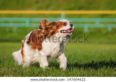 Spaniel running on the lawn - stock photo