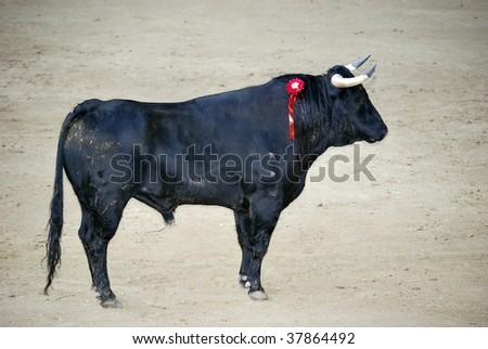Spanish bull in the bullfighting. Power and danger concept - stock photo