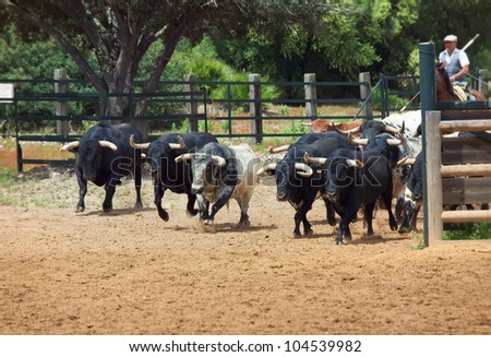 spanish bulls sunny day Spain - stock photo