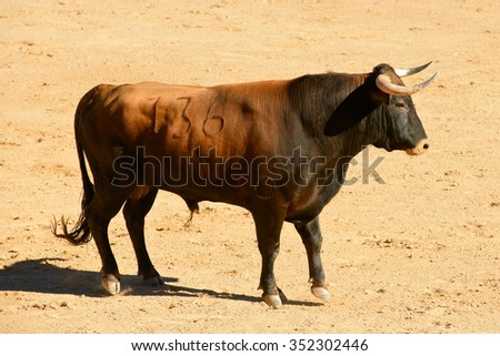 Spanish fighting bull in the arena - stock photo