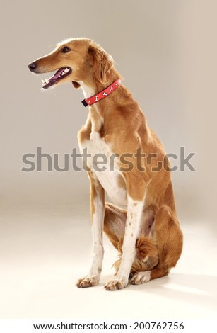 Basset Hound Tongue Out Laying On Stock Photo 261524165 - ShutterstockNova Scotia Duck Tolling Retriever Cross Collie