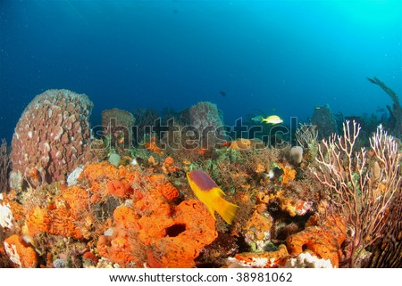 Spanish Hogfish with coral reef - stock photo