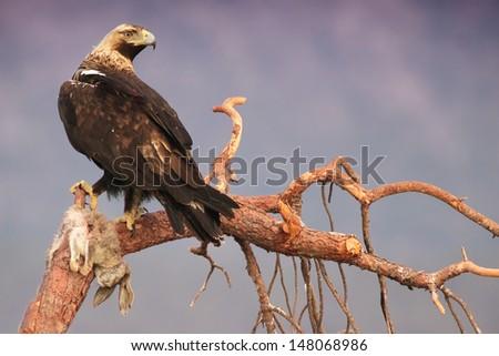 Spanish Imperial Eagle (Aquila adalberti) on tree branch with rabbit prey. �guila imperial ib�©rica - stock photo