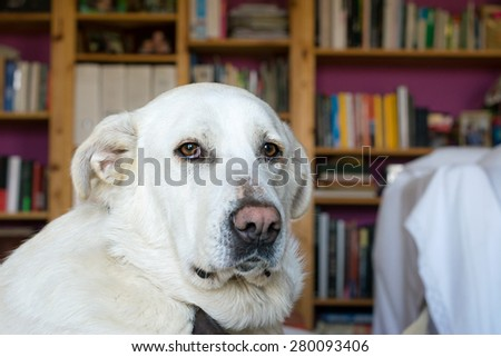 Spanish Mastiff on sofa with library on background - stock photo
