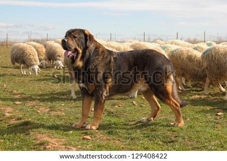 Spanish Mastiff or lions, Assaf sheep herd. Zuares of Paramo, Leon. - stock photo