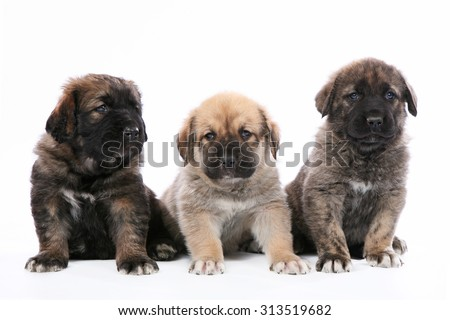 Spanish Mastiff puppys studio