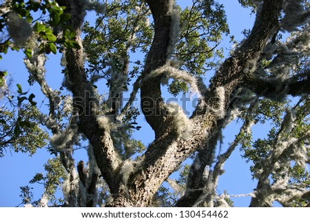 Spanish Moss hanging from a tree in Hilton Head Island, South Carolina - stock photo